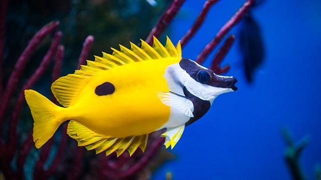 pesci marini rabbitfish